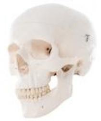 Mô hình giải phẫu xương sọ, gồm 3 phần có thể tháo